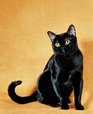 孟买猫跟黑猫区别图片