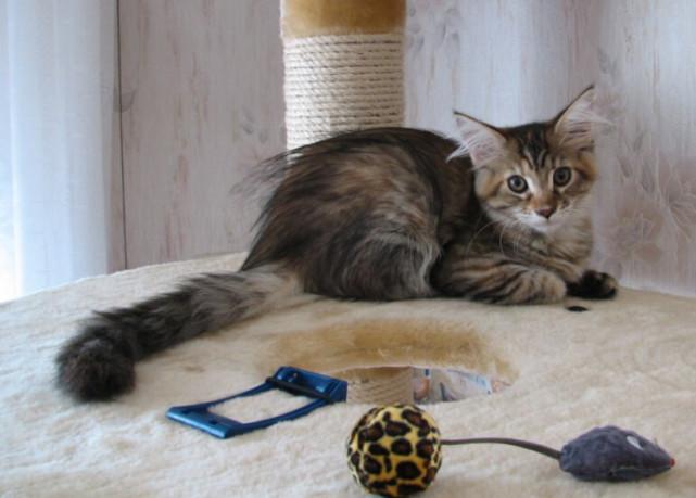 缅因库恩猫能长到多大图片