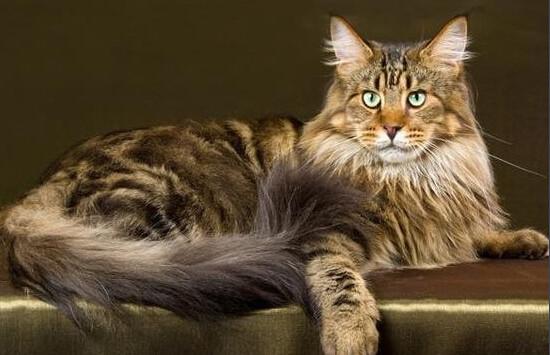 缅因库恩猫价格图片