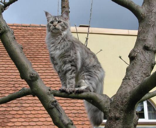缅因库恩猫 智商图片