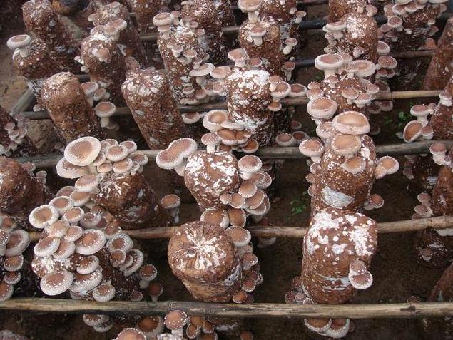 菌类家族之热心的香菇