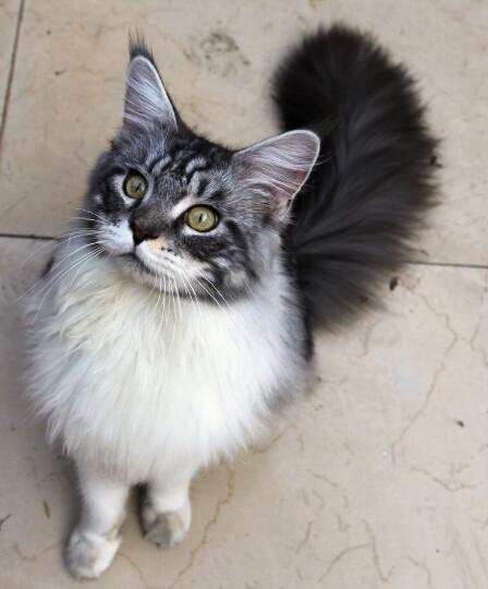 缅因库恩猫13万图片