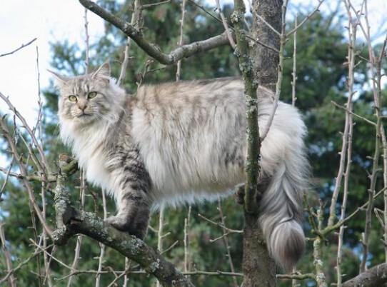 缅因库恩猫性格图片