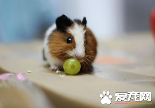 小仓鼠喜欢吃什么食物 详解仓鼠爱的健康食物.