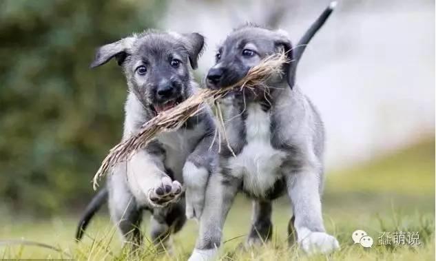 确认是史上第一对同卵双胞胎狗宝宝降生啦!-蠢萌说
