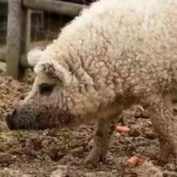 """坤鹏论:""""你养的羊毛却被BAT薅了-坤鹏论"""