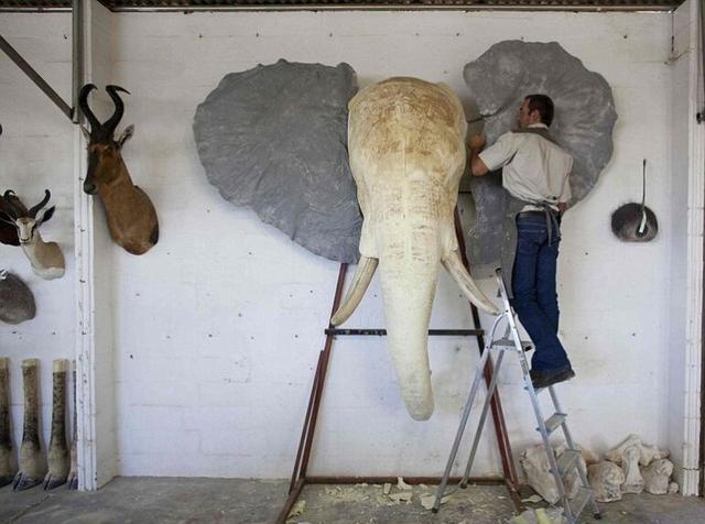 实拍非洲动物标本制作过程