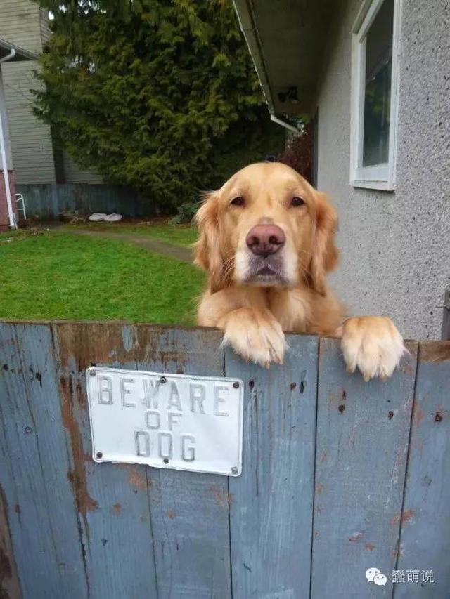 主人本是想养这些狗狗让它们看家护院,但是他真的想错了!-蠢萌说