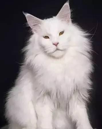乌克兰巨猫angie_乌克兰有只叫angie的巨猫,传说体重726斤.