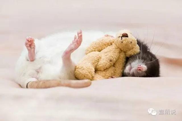 那些喜欢抱着娃娃睡觉的萌宠们!这是要萌死主子吗?-蠢萌说