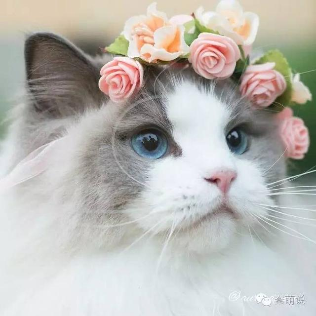 世界上最美猫咪果然名不虚传,猫奴都想结婚了!-蠢萌说