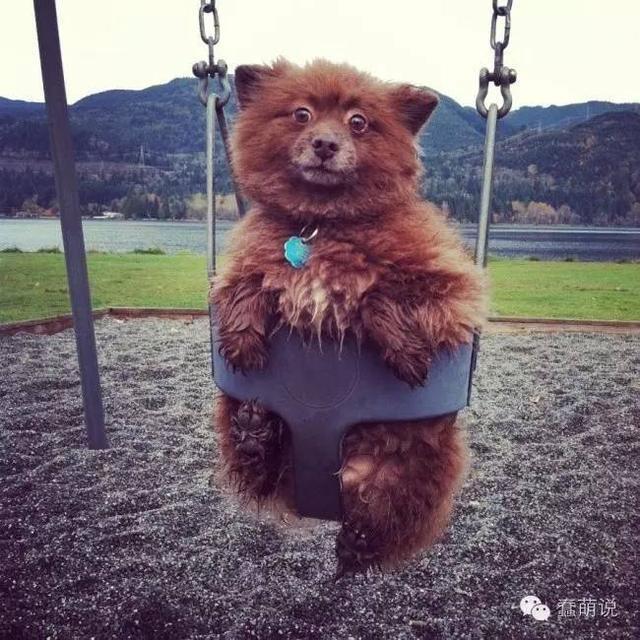 是狗还是熊,拉出来溜溜就知道!那些常被误认为熊的超可爱狗狗-蠢萌说
