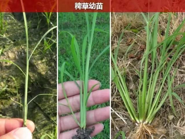 杂草与水稻?草长大了你才能分清吗?