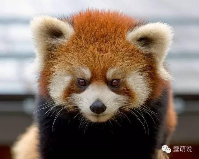 世界上那些最毛球的小动物们都在这里了,你最喜欢哪个?-蠢萌说