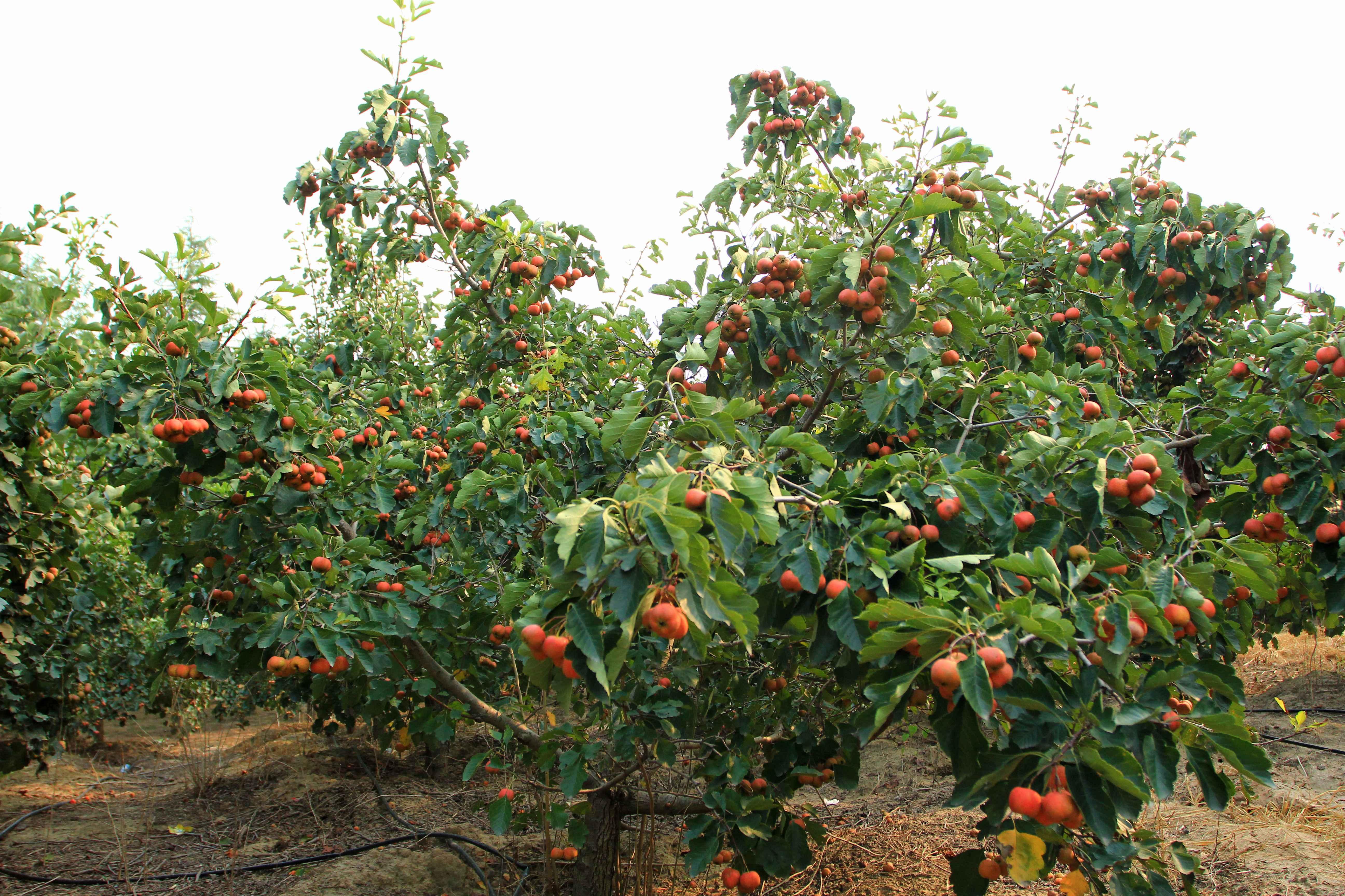 中秋采摘季 郑州黄河边80亩冬枣和山楂熟了