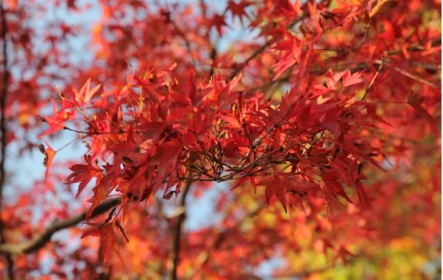 """秋季赏枫,来一趟日本""""红叶狩""""之旅吧!图片"""
