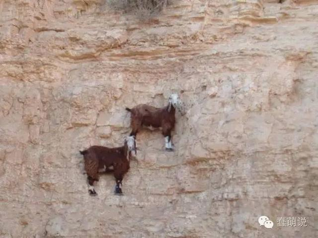 这组照片可以证明山羊的牛X绝非常人可以想象!-蠢萌说