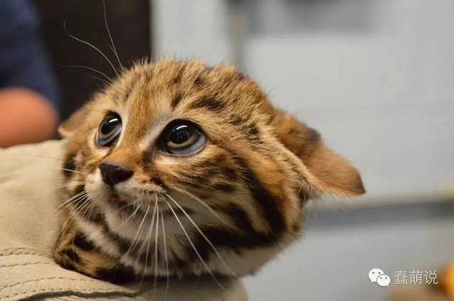 11种你可能永远都见不到的稀有野猫!最后一个太萌了-蠢萌说