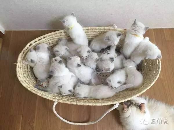 猫妈妈一口气生了16只小猫,那画面简直萌翻了!-蠢萌说