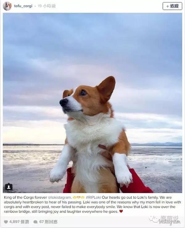 柯基界的一位巨型陨落,柯基狗友们纷纷表示哀悼-蠢萌说
