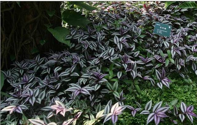 菊科稻搓菜属,别名:蓝花豆