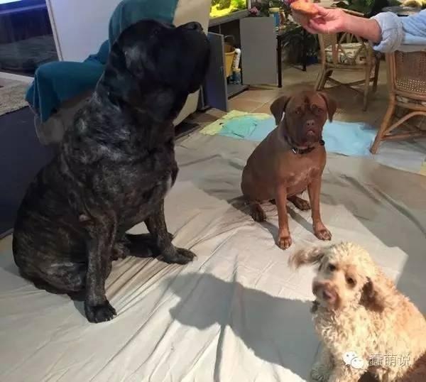 身长2米的超级大狗狗,却有颗成为治疗犬的温柔心-蠢萌说