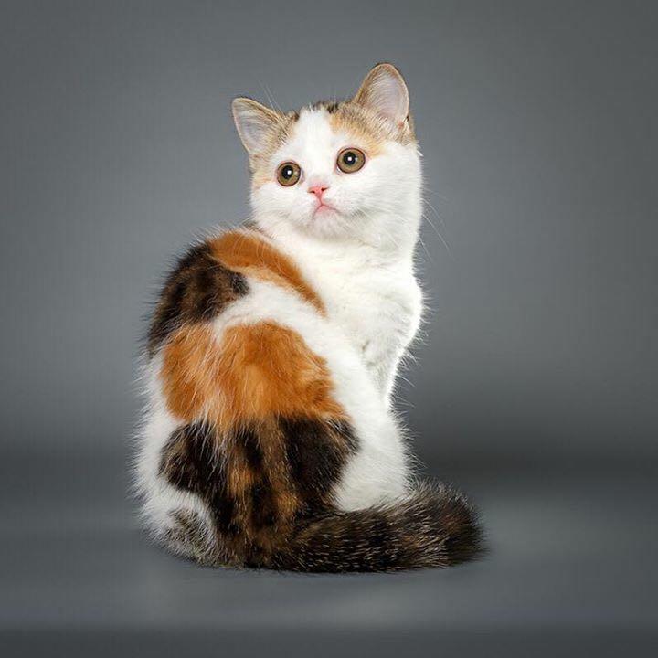 重点色英国短毛猫粘人程度图片