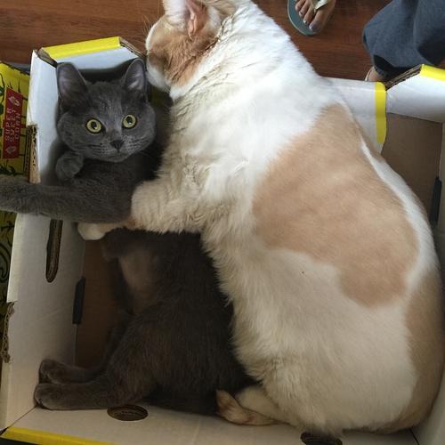 一只被误以为带了猪基因的巨型猫,剃毛后发现.