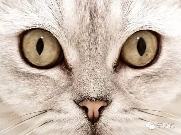 猫咪冷知识:铲屎的,告诉你,朕可没有睫毛哦~-蠢萌说