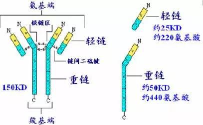 抗体的结构