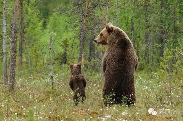 憨态可掬毛茸茸的熊,看起来根本就不凶呢!-蠢萌说