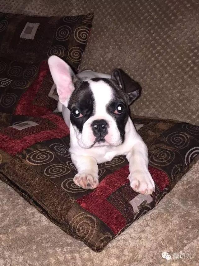 最萌狗狗形态,其实是一只耳朵立着一只耳朵耷拉着-蠢萌说