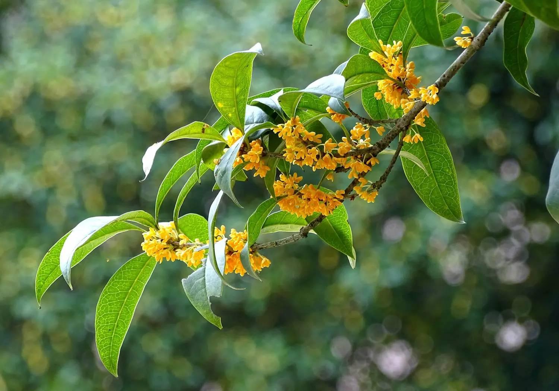 金桂,银桂,丹桂,柴桂,四季桂……进入九月,南山植物园桂花竞相盛开
