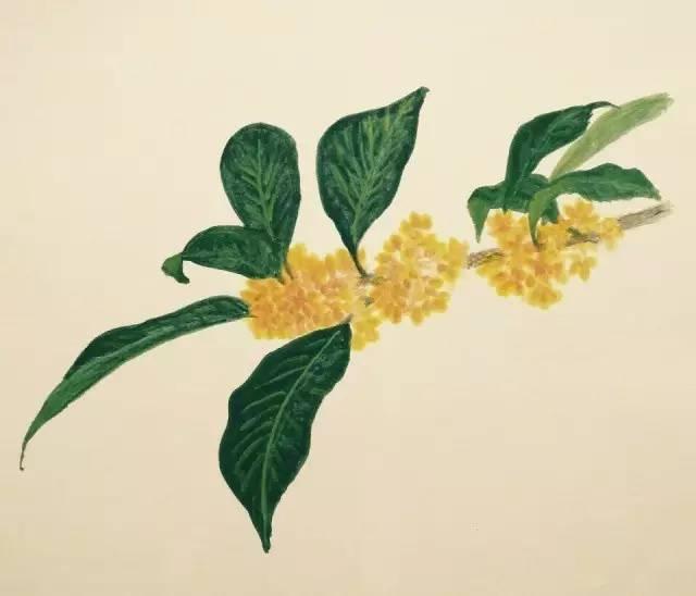 《秋物之满家桂花》 手绘