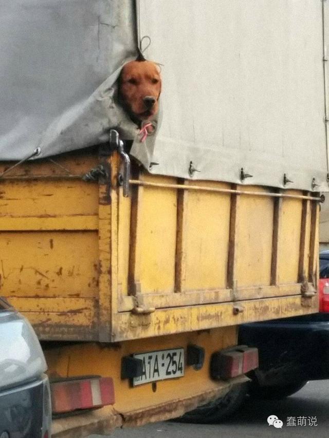 没有什么能阻止狗狗们想感受外面世界的心,哪怕只能用鼻子!-蠢萌说