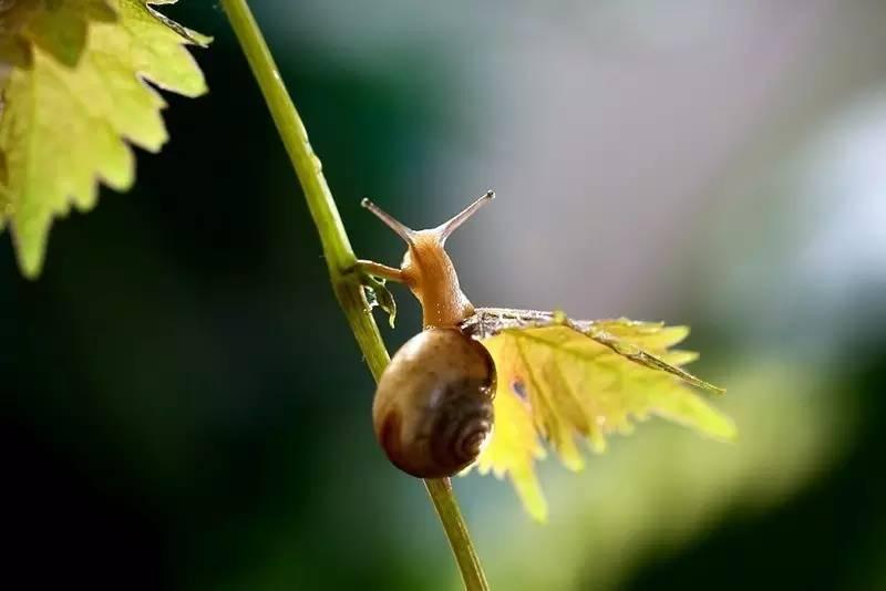 """""""阿门阿前一棵葡萄树,阿嫩阿嫩绿得刚发芽,蜗牛背着那重重的壳呀"""