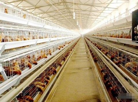 夏季,养鸡场停电怎么办