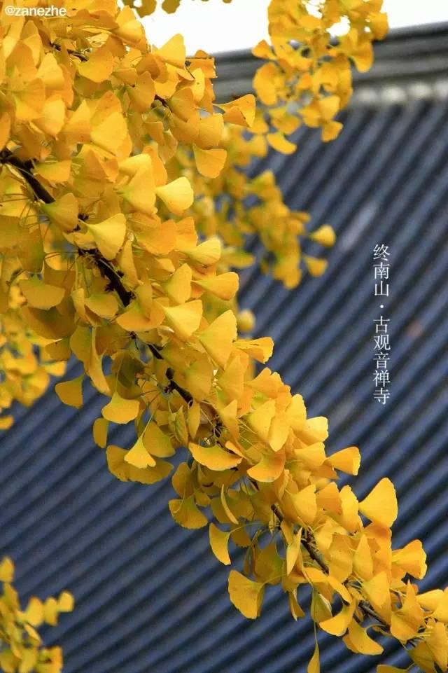 唐太宗种了一棵银杏树