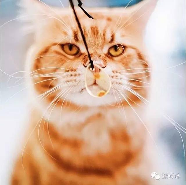 这只橘猫除了肥,还有着一股霸道总裁的气质!-蠢萌说