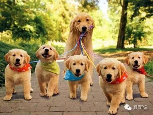 这些狗爸妈看着它们的一堆狗宝宝时,眼神里是满满的骄傲和自豪感-蠢萌说
