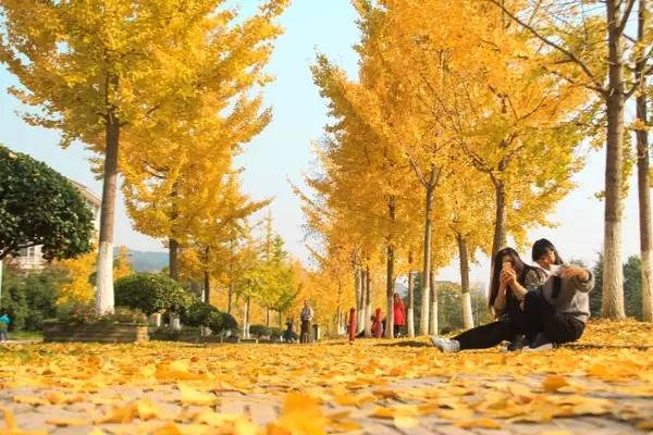 金灿灿的银杏叶成了浙江农林大学校园里的一道亮丽的风景,银杏飘飞的图片