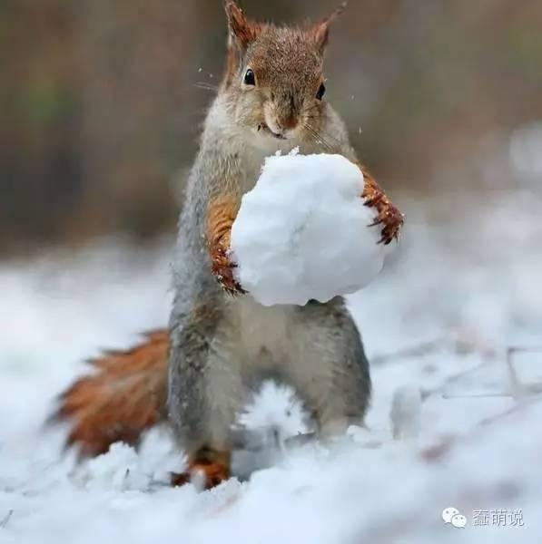 一组关于野生雪地松鼠的摄影照片,大自然还是神奇啊!-蠢萌说