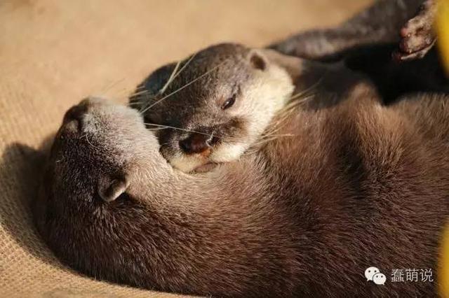 水獭这种生物除了睡觉就是秀恩爱了,睡觉也要秀!-蠢萌说