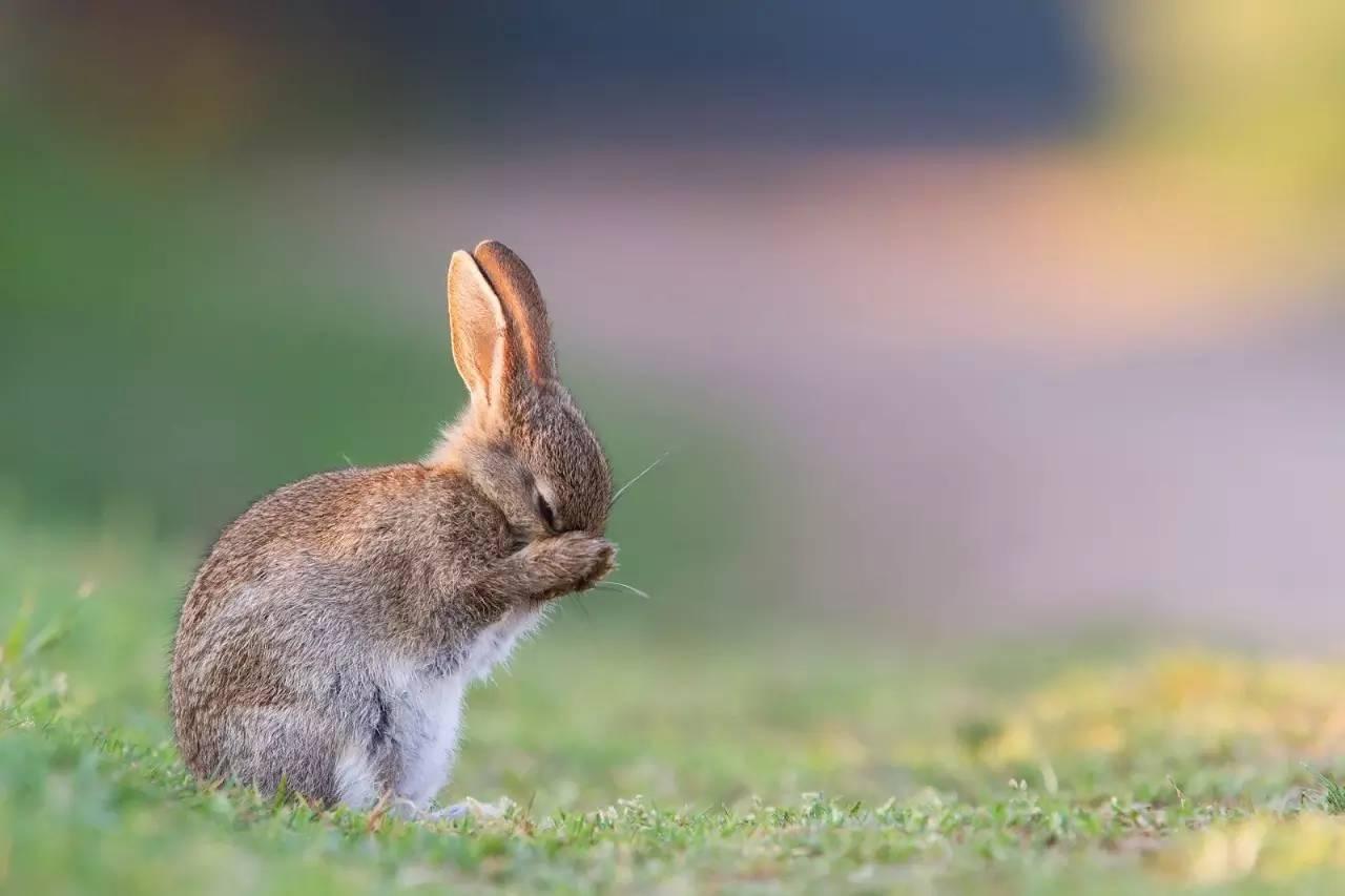 来只萌兔子洗洗眼.图片:datnature.com-兔兔这么萌 怎么可以吃兔兔