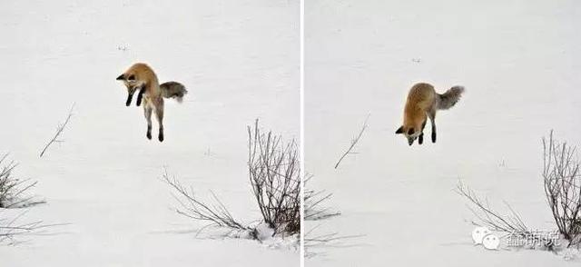 看完这些照片或许会使你爱上狐狸,没有精……-蠢萌说