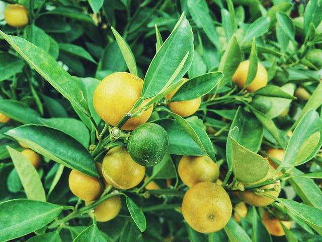 13种很适合盆栽的水果亚虎官网和浆果,你更喜欢哪种?