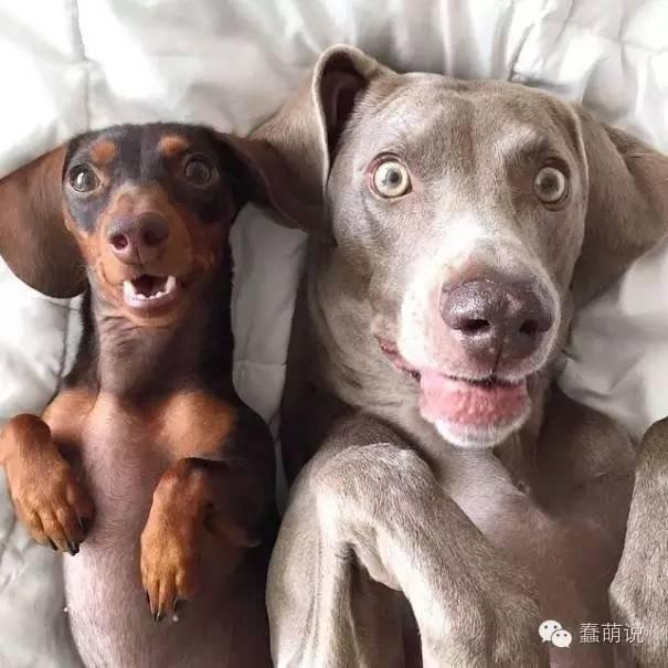蠢萌汪 の 日常:当俩狗狗听说要洗澡的时候,那表情不要太酸爽!-蠢萌说