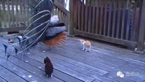 小奶猫误以为孔雀开屏是茫茫多的逗猫棒,结果瞬间嗨爆了!-蠢萌说