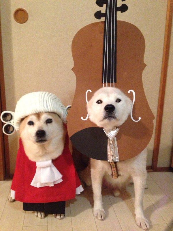 二次元,但是这两只柴犬赋予了cosplay别样的蠢萌画风