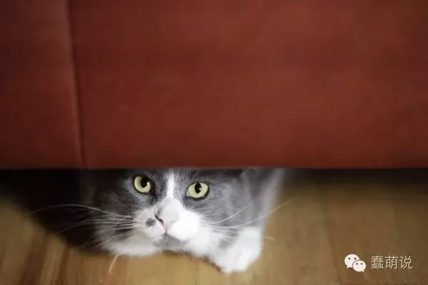 做错事就躲起来,莫非猫咪跟狗狗一样也会心虚?-蠢萌说